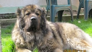 """De Bolintin"" kennel, kennel of Caucasian Shepherd Dog, since 1998...."
