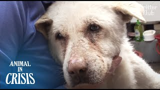 Dog Cries & Looks Around For Owner Everyday Without Knowing Her Death | Animal in Crisis EP134
