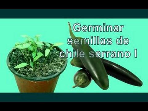 C mo sembrar y germinar semillas de chile serrano i youtube for Semillas suculentas chile