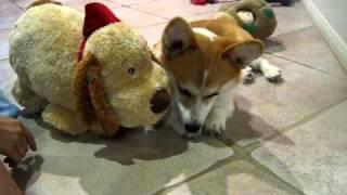 Yuki The Corgi Puppy Loves/kisses Stuffed Animal (corgi - 6 Months)