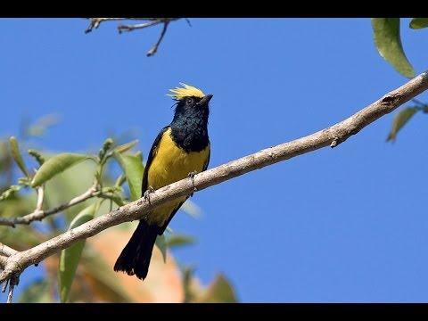 Gelatik sultan atau sultan tit, suara burung ini pas mantap untuk masteran Gelatik batu !