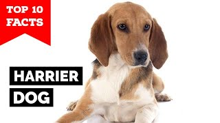 Harrier Dog  Top 10 Facts