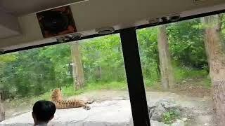 에버랜드 사파리투어 / everland safari 꿀재미ㅋㅋ 성우준비하다 오셨나?! 목소리가 너무 매력적~!!😍