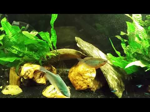 Pearl Gouramis Are Starting To Show Their Colors