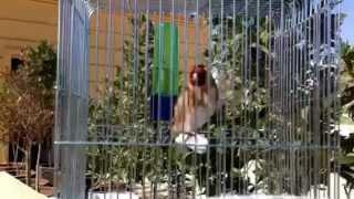 طائر بري جميل (حسون)