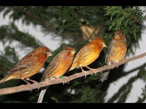 Erdemli'de Nesli Tükenmekte Olan Kuşlar Yakalandı