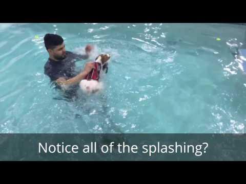 Halley, Brittany Spaniel Puppy, First Swim Lesson