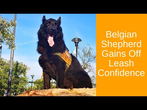 Knoxville Dog Trainers - 4 Year Old Male Belgian Shepherd Goes Off Leash!