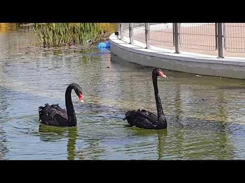 A pair of black swans