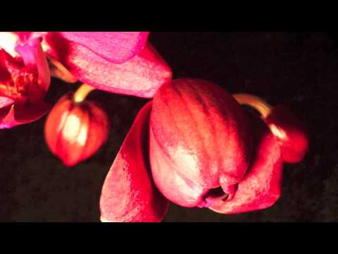 Orchid Time Lapse