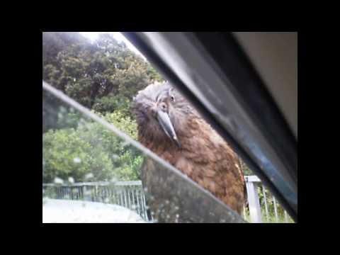 KEA:  Attack of the New Zealand Kea at Arthur's Pass, NZ!!!