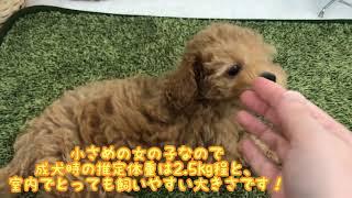 志村坂下店に可愛いトイ・プードルちゃんがいますよ!! 1月4日生まれ...