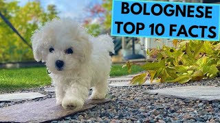 Bolognese Dog Breed  TOP 10 Interesting Facts