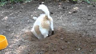 K.c. The Cavalier King Charles Spaniel & Shih Tzu Mix Digs A Hole Part Ii