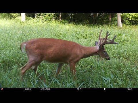 Random Summer Trail Cam Buck Hunting Strategies