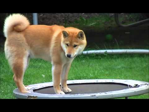Oscar on trampoline