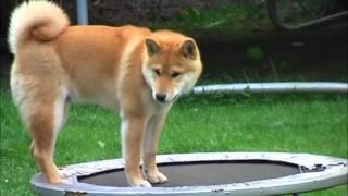トランポリンに挑戦する柴犬。その動きと困惑顔が可愛すぎる