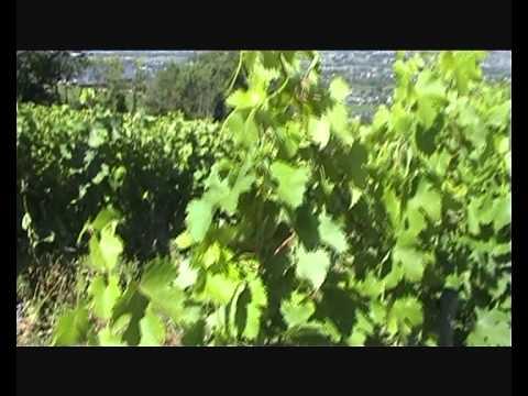 Comment bourgeonner la vigne doovi - Quand tailler la vigne en treille ...