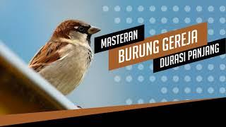 Download lagu Sangat Ampuh Masteran Burung Gereja Tarung Gacor Durasi Panjang FULL 1 JAM