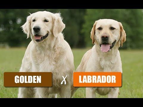 Golden E Labrador Veterinária Explica Youtube