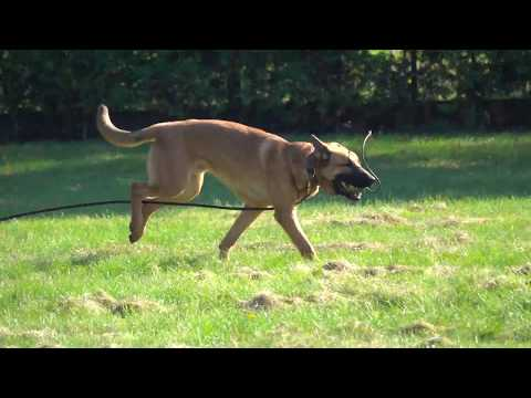 Ziko Belgian Malinois Detection Inside And Outside