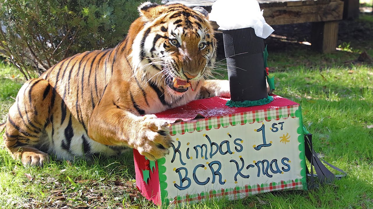 Meow-y Christmas With Big Cats