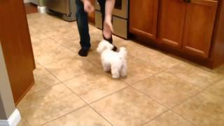 Misha doing some of her tricks she is a Maltese Shitzu mix at 4 months for this video