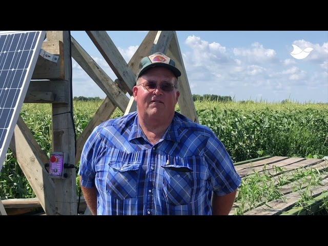 Sweet corn grower reduces losses by 70% with laser bird deterrent