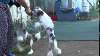"""Питомник Китайских Хохлатых собак """"Премьер Мари"""""""