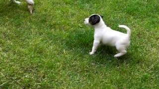 Szczeniaki Jack Russell Terrier