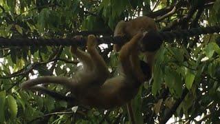 面白い猿 !リスザル の  決 闘 !その2