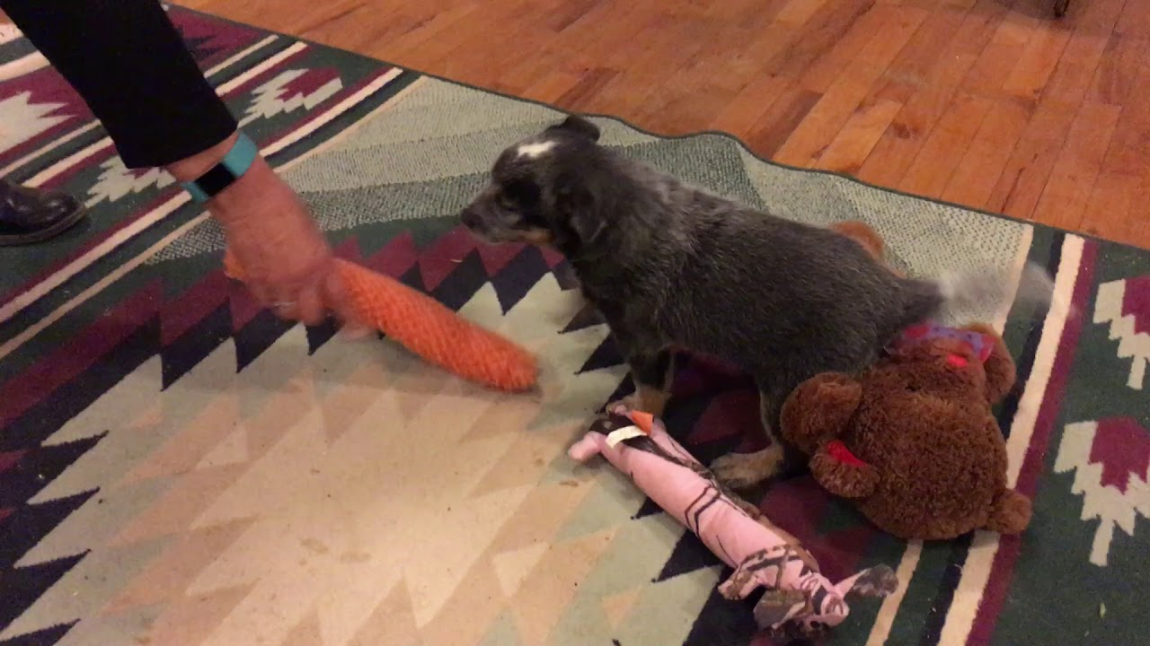 Australian Cattle Dog/Blue Heeler Puppies for Sale from