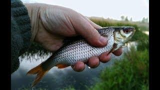 Рибалка | Відмінна плотва на річці Орлиинка 80 км від Санкт-Петербурга | Чемпіон Берліна