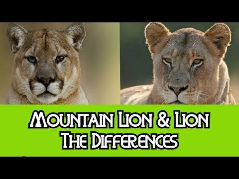Lion & Mountain Lion - The Differences