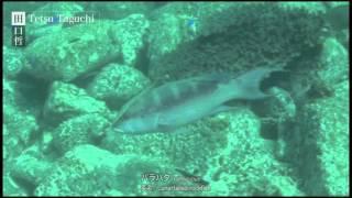 バラハタ - 何故か震えるシガテラ毒魚