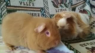 Наши морские свинки