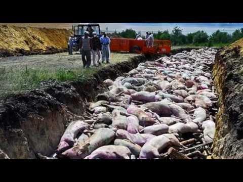 Внимание! В Харьковской области обнаружен вирус африканской чумы свиней