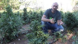 Floración de Marihuanas Automáticas en exterior. Marihuana Al Natural 27 thumbnail