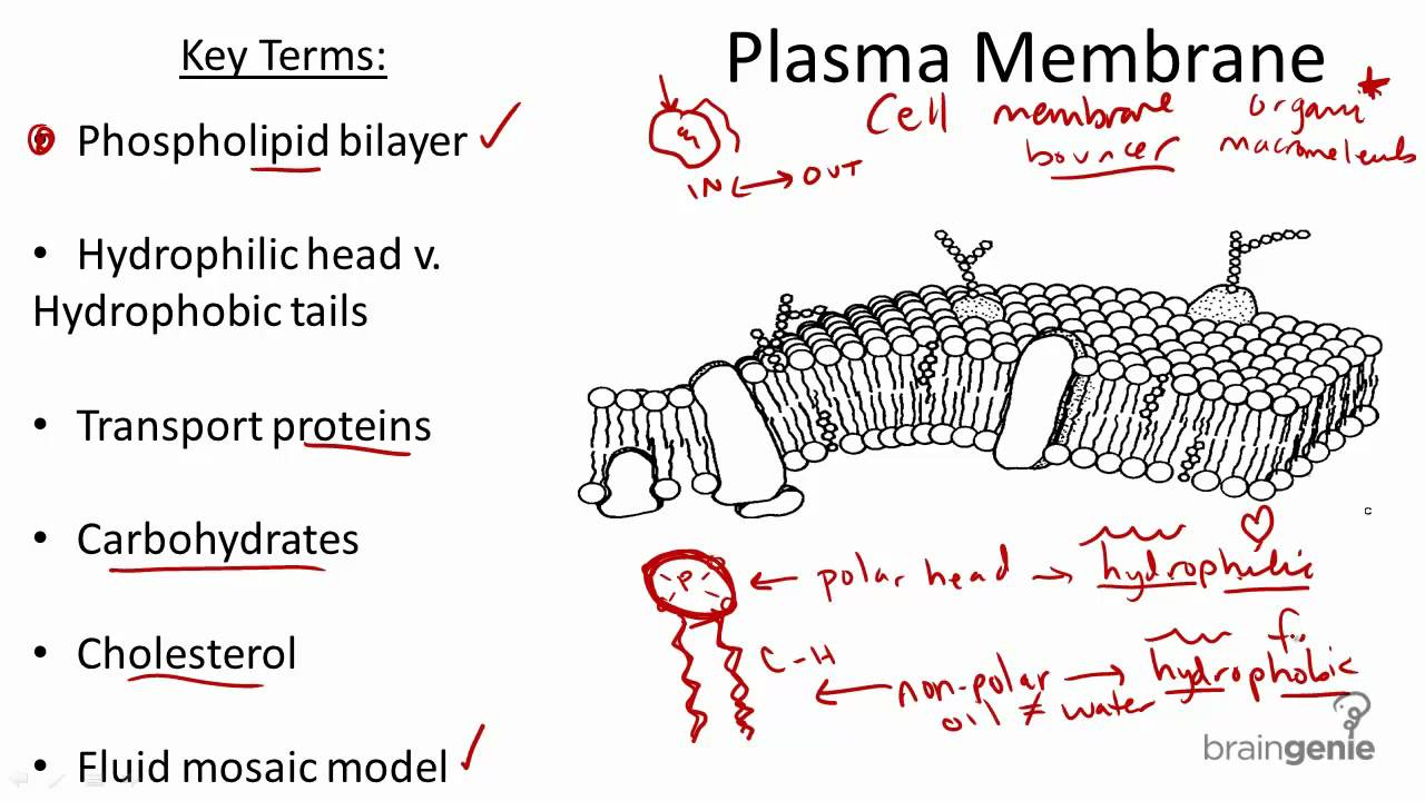 Structure and function of plasma membrane