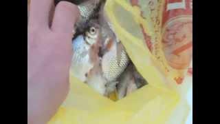 *ШОК*Собака ест сырую рыбу