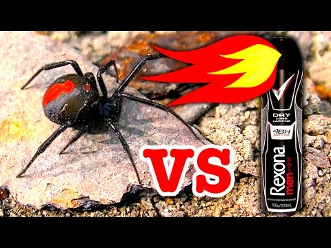 Deadly Redback Spider & Brown Recluse Spider Vs Rexona Flamethrower (Warning Scary Video)