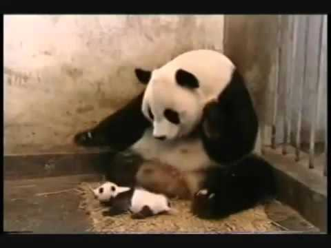 فيديو مضحك جداً لصغير الباندا Very funny video of a small panda