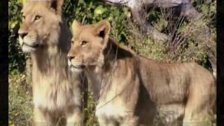 Lion Documentary: Lion Brotherhood - Nat Geo Wild