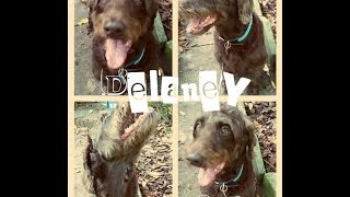 Delaney (6 Year Old Labradoodle) Before And After Video - Off Leash K9 Tampa Bay