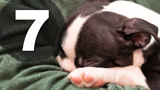 How To Find A Reputable Boston Terrier Breeder (7 Key Items)