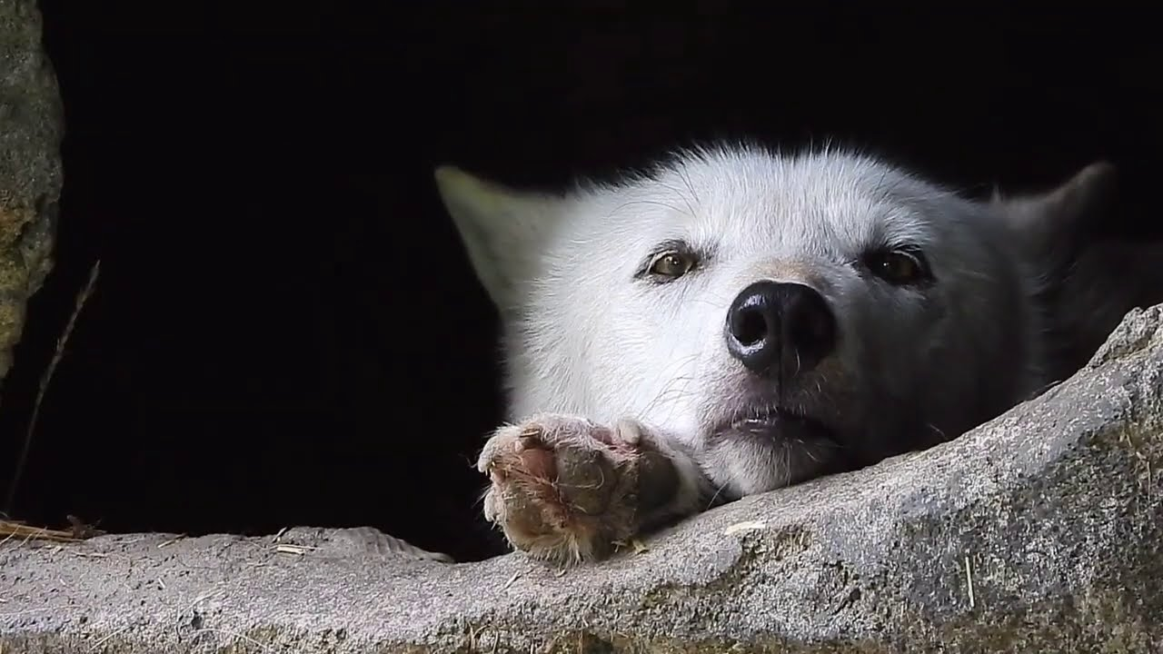 Wolf Mood is the Cutest Mood