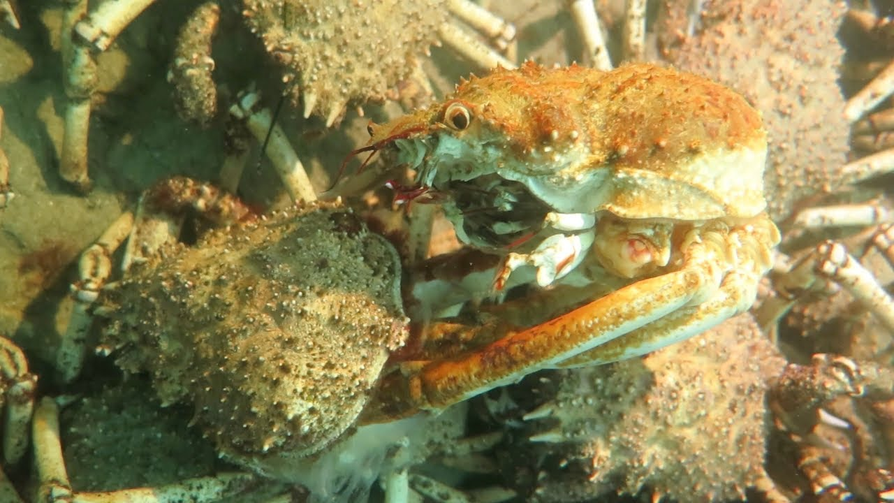 One Spider Crab Moulting Its Shell Amidst a Million