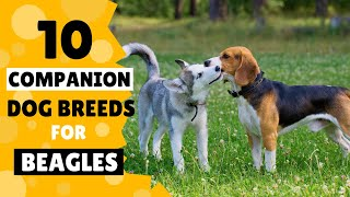 10 Best Companion Dog Breeds for your Beagle