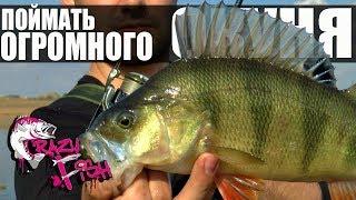 Как Поймать Большого Окуня Crazy Fish Часть 1