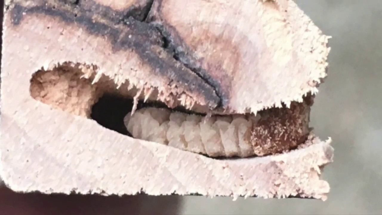 ***Bob's Discount Furniture has WOOD WORMS !! *** - YouTube
